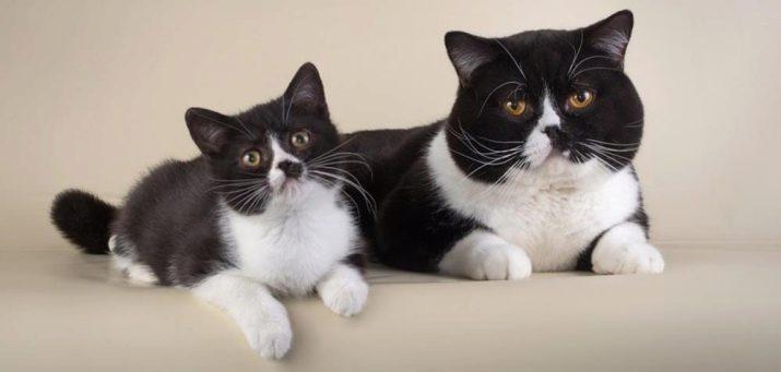 Влияет ли цвет шерсти на характер кошки?